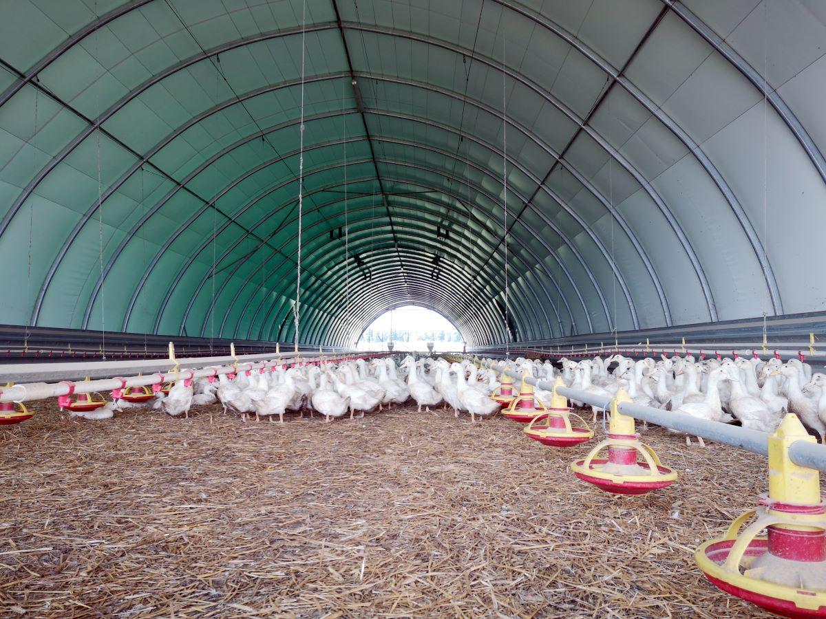 Kaczki w hali tunelowej Arbena wykorzystanej jako kacznik